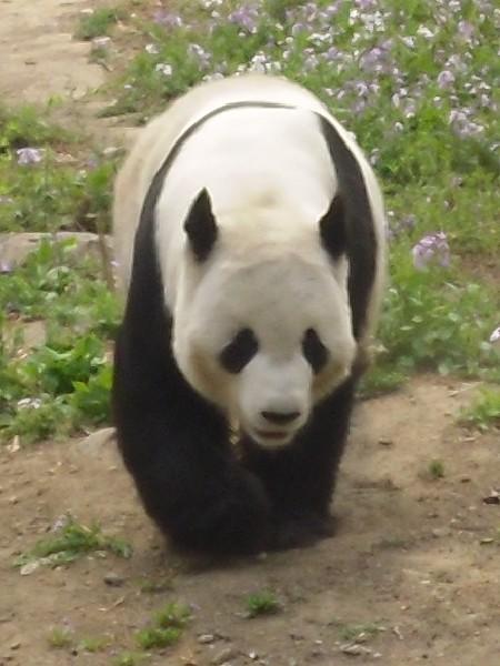 Panda, zoo de Pékin