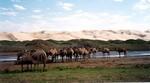 mini-chameaux-desert-de-gobi