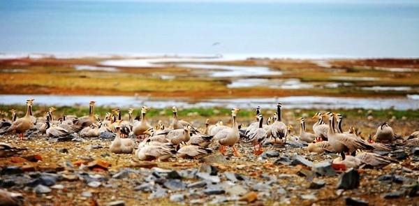 L'île aux oiseaux du Lac Qinghai